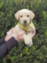 Labrador machos e fêmeas com garantias e suportes exclusivos! * Alexandre