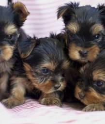 Filhotes de Yorkshire Terrier Recibo Garantia de saúde Pedigree