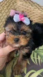 Bebês de York. Yorkshire Terrier