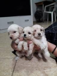 Lindos Maltês com pedigree disponíveis reserve já