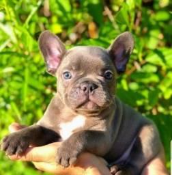 Vendo filhotes de Bulldog francês Blue exóticos