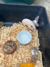 Hamster Sirio atacado