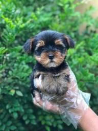 Yorkshire Terrier - Filhotes de Yorkshire Disponiveis Temos Lojas Físicas