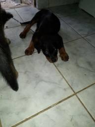 Cachorra rotiwalei