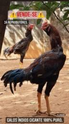 Reprodutores Índio Gigante