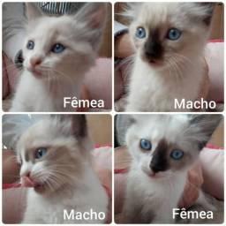 Filhotes de gato com 2 meses, 2 machos e 2 fêmeas