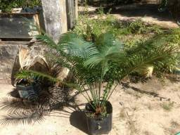 Muda de Palmeira sagu