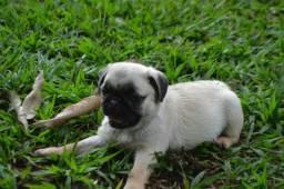 Pug micro pedigree cbkc