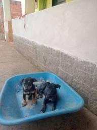 Vendo 2 cachorinha fêmea pôr 200 reais cadave
