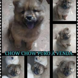 Vendo chow chow macho