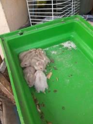 Filhotes de hamster anão russo macho e fêmeas