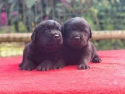 Labrador filhotes maravilhosos, a pronta entrega !