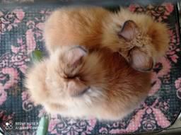 coelho anão mini lion head (leão) cresce até 35 cm femea dourada Floramar