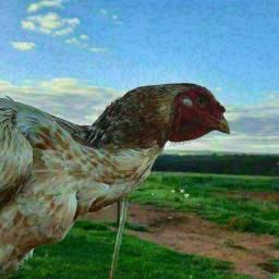 Promoção de ovos de indio gigante