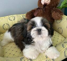 Shih-tzu mini Shitzu Disponivel