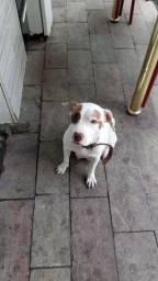 Pitbull 12 meses doação
