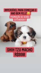 Shih Tzu Macho +TOP +LINDO compre com procedência!!