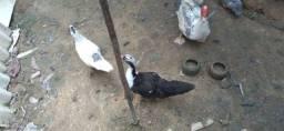 Patos por 20 reais