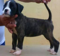 Boxer com é sem pedigree