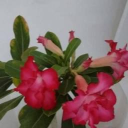 Eu vendo mudas de rosa do deserto e sementes.e vendo também cactus