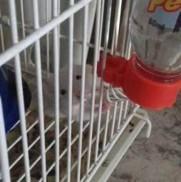 Hamster Sírio filhote