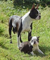 Fihotes de Boston Terrier