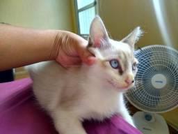 Doa-se gato filhote 3 meses