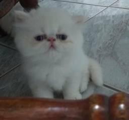 Vendo gatos himalaia