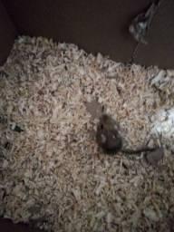 Gerbil ou esquilo da mongolia
