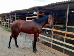 Cavalo mestiço de Manga larga com árabe