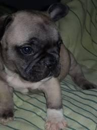 Bulldog francês machinho *