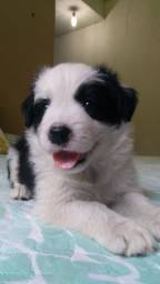 Filhote de Border Collie com Pedigree