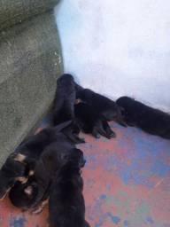 Vendo lindos filhote de rottweiler