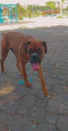 Cachorro Boxer 500