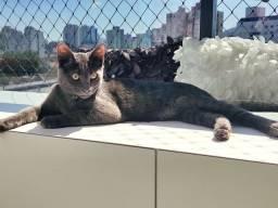 Gato Azul Russo - Com pedigree