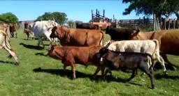 Lote de vacas de cria