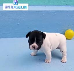 Bulldog francês com pedigree CBKC top