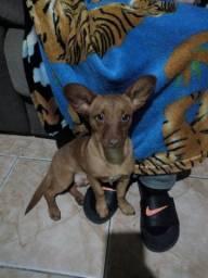 Doaçao cachorro porte pequeno acostumado com criaça 8 mes