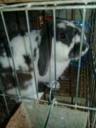 Adulto coelho