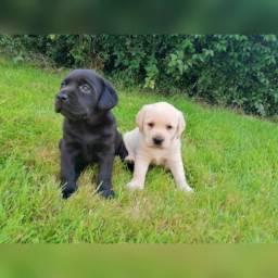 Labrador fêmeas e machinhos com garantias de vida e saúde em contrato