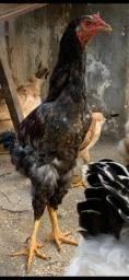 Vendo galinho mestiço
