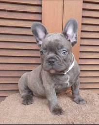Bulldog francês exótico blue