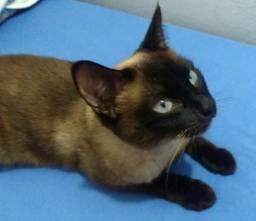Vendo fêmea de gato siamês adulto 200,00