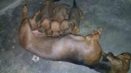 Cachorrinho salsichas fêmea