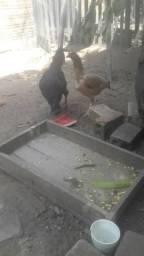 Vende-se duas galinha e um galo gigante negro