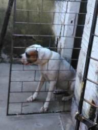 Boxer branca procura um reprodutor