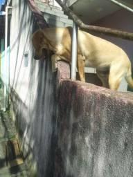 Labrador puro sete meses lindao