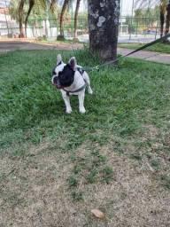 Bulldog francês procuro namorada