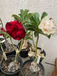 Rosas do deserto exóticas MT