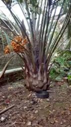 Palmeira Butiá adulto produzindo